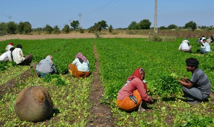 Hard- workers in Coriander fields