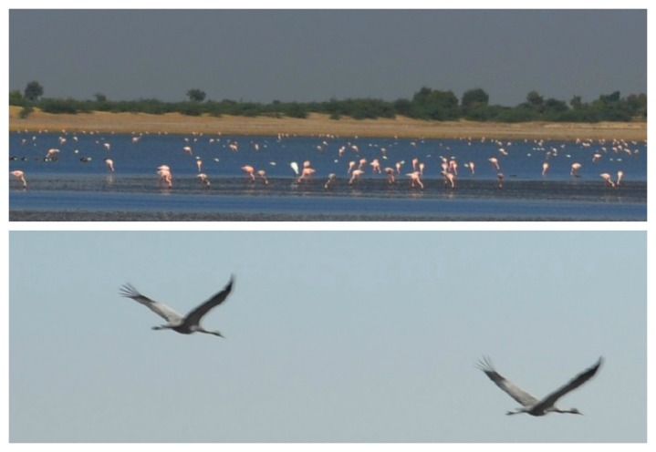 Flamingos and Cranes in theh Little Rann of Kutch -  Very low numbers due to drought