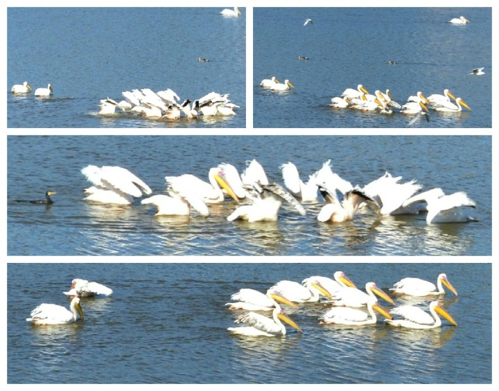 Great White Pelican's - They dip and swim and then...... do it all over again!!
